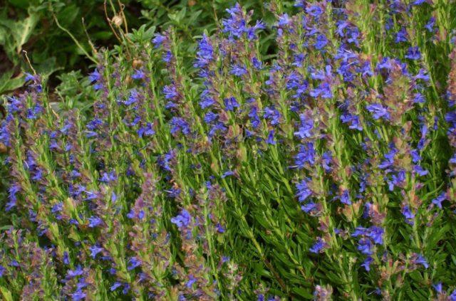 Сорт с пурпурно-синими цветками