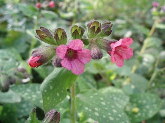 Насыщенно-лиловые цветки