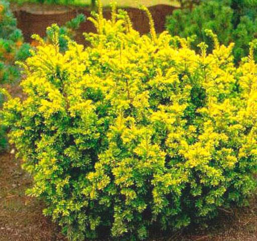 Густой кустарник с восходящими ветвями и золотистой листвой