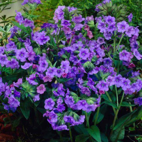 Темно-сине-фиолетовые цветки
