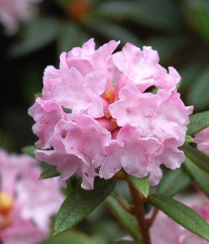 Крупные зонтики белых или розовых цветков