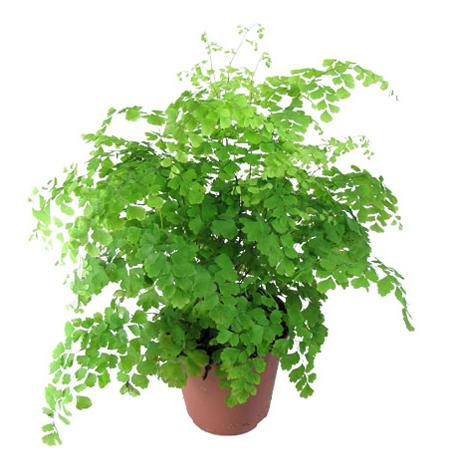 Раскидистый куст с мелкими волосистыми листьями