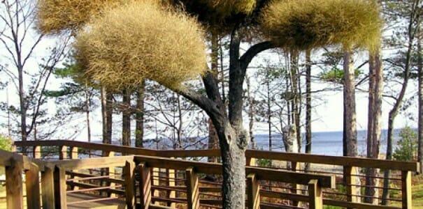 Обычай сажать под старыми деревьями вьющиеся растения возник в Англии