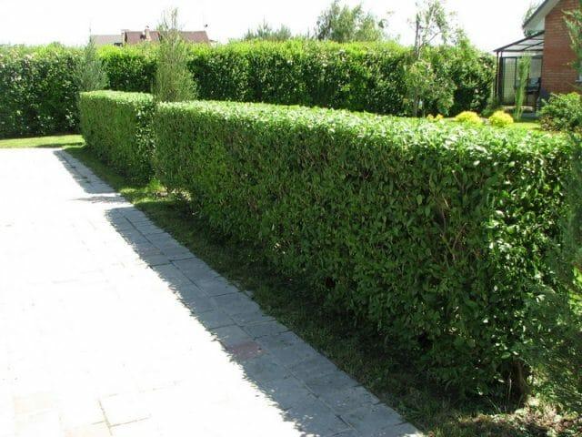 Вечнозеленая или листопадная?
