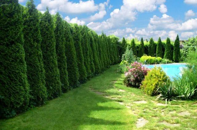 Туя, кипарисовик и многие другие вечнозеленые хвойные растения довольствуются малым местом