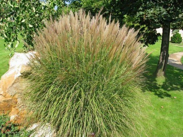 Мискантус китайский (серебряная трава)