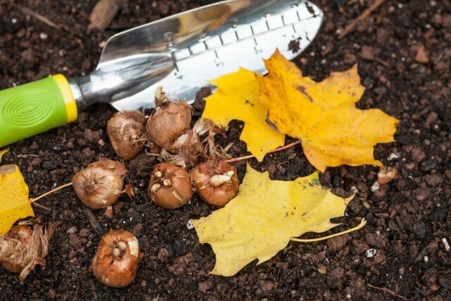 Луковицы и клубни в вашем саду