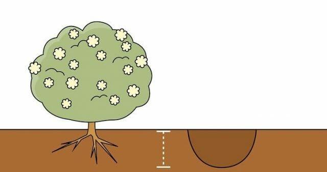 Посадка и размножение калины
