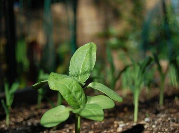 Как вырастить шпинат в огороде и на приусадебном участке