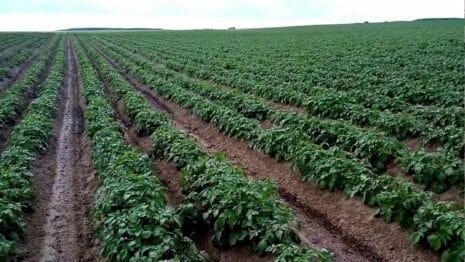 Картофель Джувел: описание и характеристика сорта, урожайность, отзывы