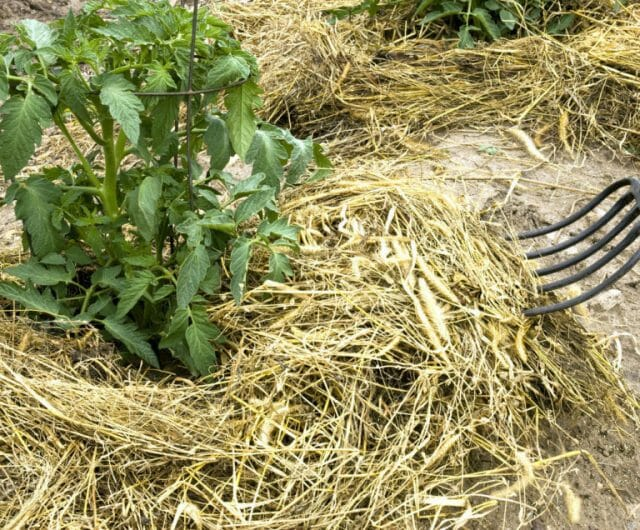 Выращиваем большой урожай томатов в засушливое лето