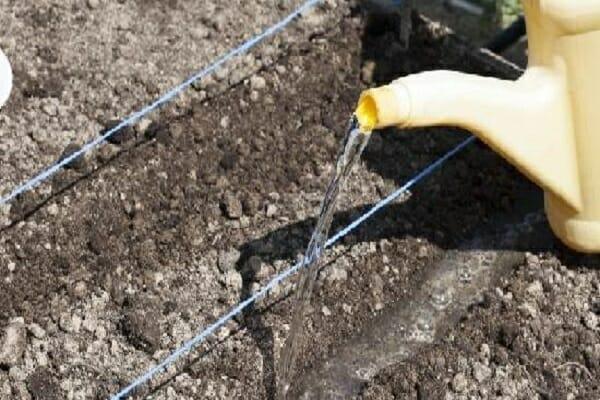 Как сажать капусту в открытый грунт безрассадным способом?