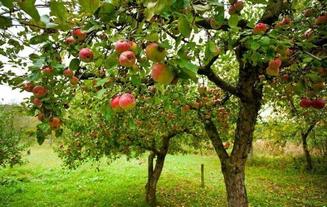 Парша яблони и груши, лечение профилактика заболевания