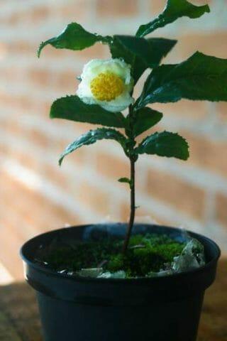 Правильное выращивание чая в домашних условиях