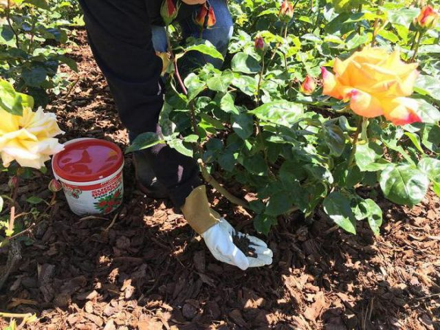 Правильный уход за розами осенью