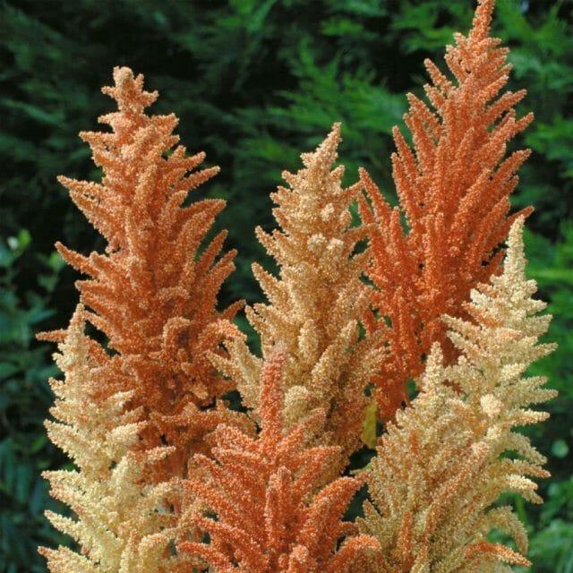 Сухоцветы: фото и названия лучших видов, подходящих и для сада, и для создания букетов