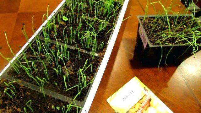 Выращивание репчатого лука из семян