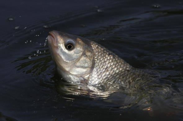Солим речную рыбу в домашних условиях