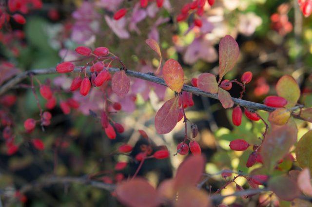 Как обрезать жимолость осенью?