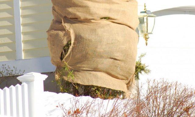7 секретов успешной зимовки хвойных растений. Защита от снега, мороза, солнечных ожогов