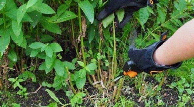 Флоксы осенью: все о посадке, пересадке и подготовке растений к зиме