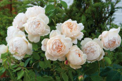 Английские розы Дэвида Остина