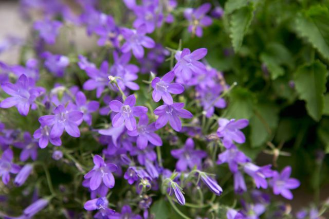 Сине-лиловые цветки до 2 см длиной