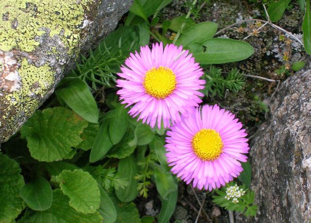 Соцветия лилово-фиолетовые