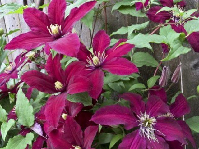 Цветки с шестью бархатистыми рубиново-красными листочками околоцветника