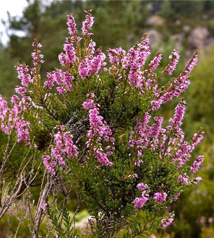 Сиренево-розовые цветки выделяются на фоне золотистой листвы