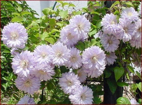 Серебристо-розовые цветки