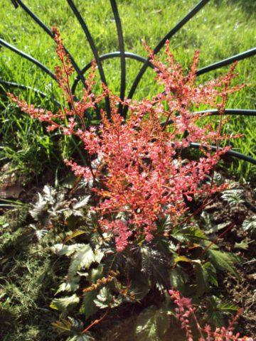 Лососево-розовые цветки
