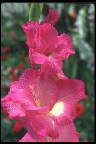 Сорт образует розовато-лиловые цветки