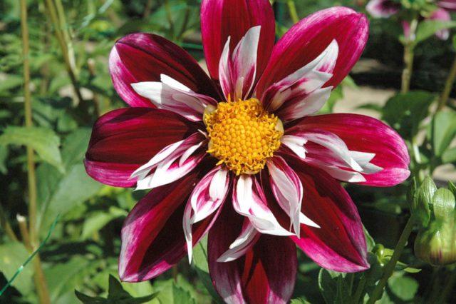 Цветки фиолетовые и белые