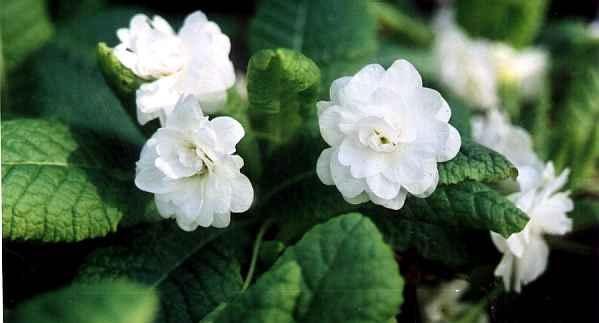 Соцветия махровые, белые