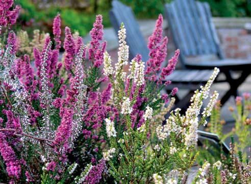 Растение для украшения сада