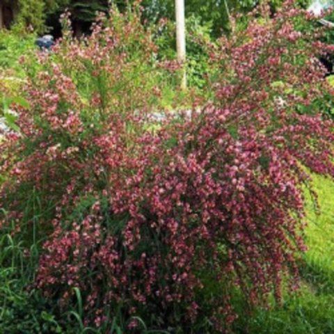 Растения формируют рыхлый куст
