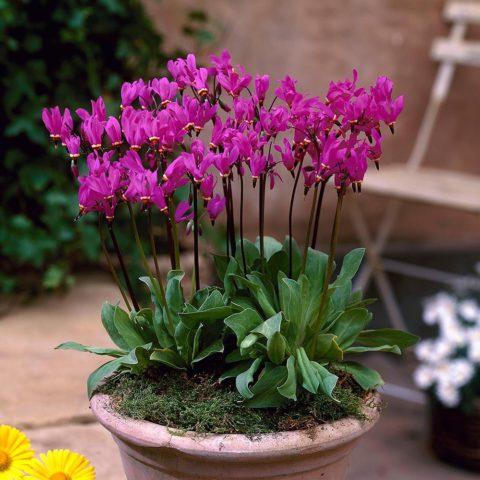 У сорта темно-малиновые цветки