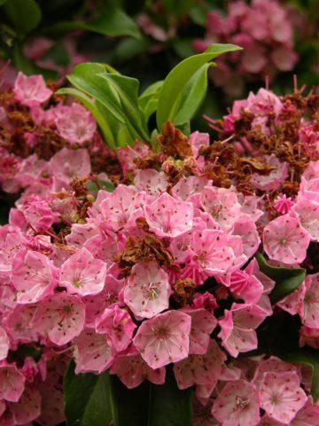 Бледно-розовые цветки