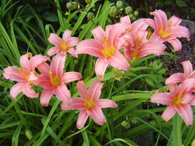 Цветки звездчатые, 12,5 см в диаметре