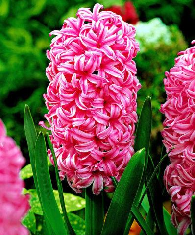 """Pink Pearl"""