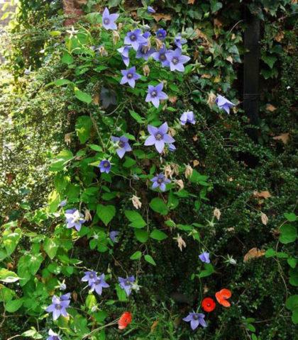 Цветки светлые, пурпурно-голубые