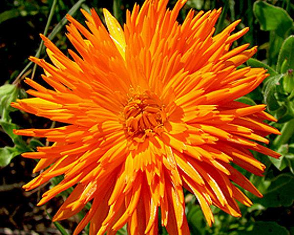Язычковые цветки оранжевые