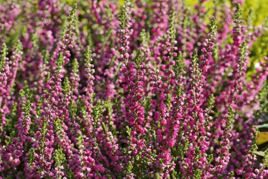 Цветки полумахровые, ярко-алые