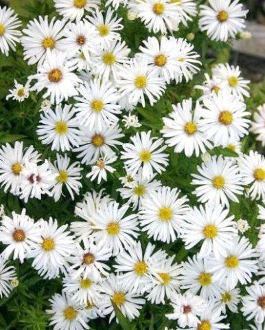 Цветки белого цвета