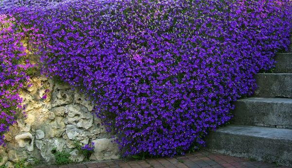 Цветки полумахровые, темно-пурпурные
