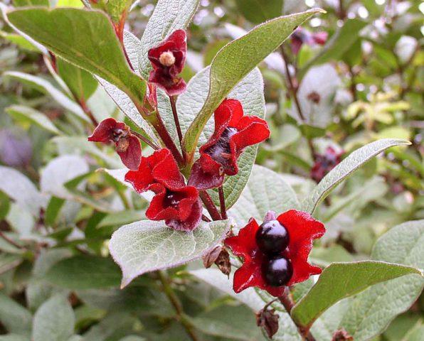 Цветки с красным оттенком