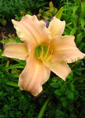 Цветки звездчатые