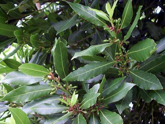 Листья блестящие, темно-зеленые