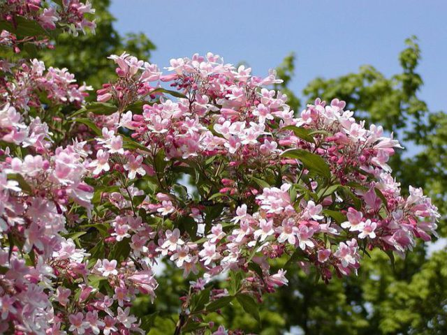 Цветки колокольчатые